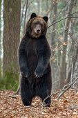 Bear Standing On His Hind Legs In The Autumn Forest poster