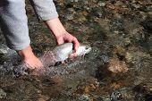 Releasing A Trout (Argentina, Rivadavia River)