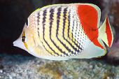 Reef fish Eritrean butterflyfish