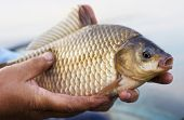Crucian carp in fisherman's hands, sunset soft light