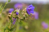 Geranium Pratense, Meadow Cranesbill, Meadow Cranes Bill, Meadow Geranium Blue Flower Close-up Agai poster