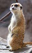 Meerkat Suricate Suricata Suricatta Standing Up