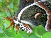 Moth (Cecropia)