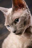Studio Macro Portrait Of Devon Rex Cat. poster