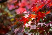 Red Acer Palmatum, Commonly Known As Palmate Maple, Japanese Maple Or Smooth Japanese-maple Leaves.  poster