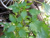 Species Of Nettle : Stinging Nettle Medical Plant poster