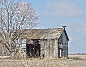 old broken barn with a turkey vulture on the roof