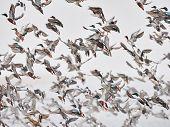 Flock of wild ducks flying over frozen river. Wildlife in winter season poster
