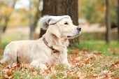 Funny Labrador Retriever Wearing Warm Hat In Beautiful Autumn Park poster