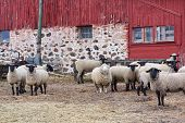 Sheep standing by an old red barn