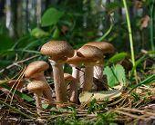 Armillariella Mellea - Mushrooms