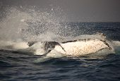 Humpback Whale Tail Splashing