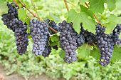 Italian Nebbiolo Red Wine Grapes on the Vine