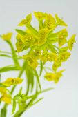 Leafy Spurge on White