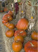 Halloween Row Of Pumpkins