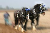 stock photo of horse plowing  - a team of two shirehorses plowing  - JPG
