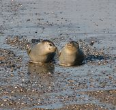 Two Seals At The Beach Of Helgoland DüNe