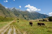 Cows Eating Grass At A Meadow With Mountains And A Trail