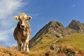Cow... Queen Of The Mountains