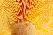 Mushroom ( Lactarius Deliciosus)