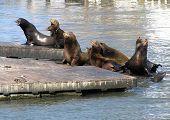 San Fransisco Seals