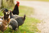 image of guinea fowl  - A group of guinea fowl and chicken feeding in bright sunlight