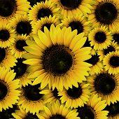 Dark Yellow Sunflower Petals Closeup Patterns Background