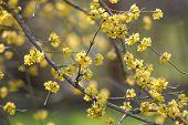 Blossom dogwood