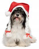 Happy Christmas Havanese Dog