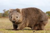 pic of herbivore animal  - Close up of wombat in Narawntapu national park Australia - JPG