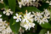 The image of beautiful blossoming jasmine,Jasmine flowers background; beautiful jasmin flowers