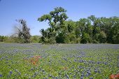 Bluebonnets In Field