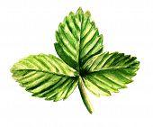 Leaf Of Strawberry