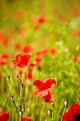 Field of  Poppy Flowers Papaver rhoeas in Spring
