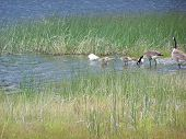 Geese in the grasses