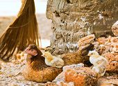 Hen And Chicks Closeup