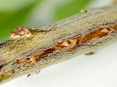 picture of grub  - Cicada damage on tree twig from cicadas in Virginia - JPG