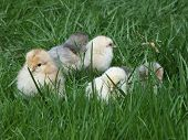 Closeup of a group of cute baby chicks in grass