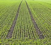 Field With Straight Rows Of Young Corn
