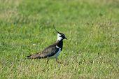 Northern Lapwing walking in meadows