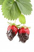 plant with two organic strawberries covered with molten chocolate isolated on white