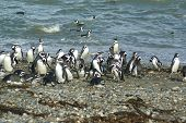 Group Of Magellanic Penguins
