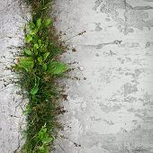 pic of ribwort  - A band of plantain growing on a stone surface - JPG
