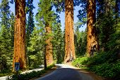 Famous Big Sequoia Trees