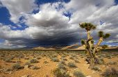 Joshua Tree In The Mojave