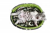stock photo of white tiger cub  - baby white tiger laying in a mattress isolated on white background - JPG