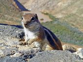 picture of snoopy  - curious meercat climbing up a rock in the wilderness - JPG