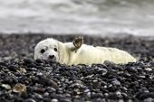 Grey seal at the beach of Helgoland