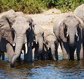 Herd of elephants at watering, Chobe national park, Botswana