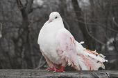 One  Pink Pigeon In The Park In The Spring Sits On The Fence